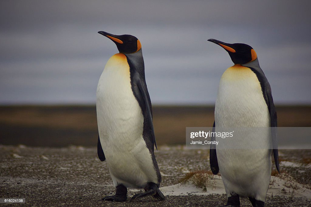 King Penguins at volunteer point : ストックフォト