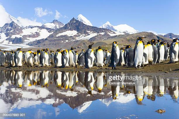 king penguins (aptenodytes patagonicus) beside pond in rookery - st andrews bay stock pictures, royalty-free photos & images