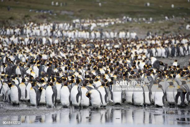 King Penguins by lagoon on Salisbury Plain.