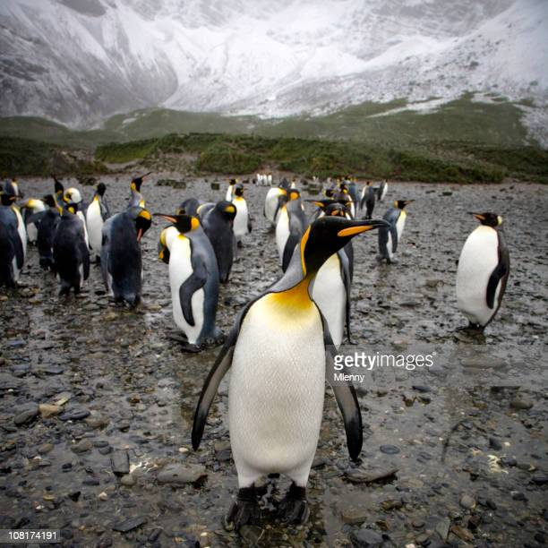 King Penguins Colony against Mountains, Gold Harbor, South Georgia