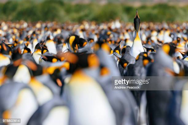 king penguins colony (aptenodytes patagonicus) at salisbury plain - rookery stock pictures, royalty-free photos & images