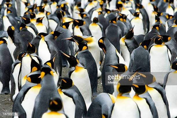 king penguins colony - colony group of animals stock photos and pictures