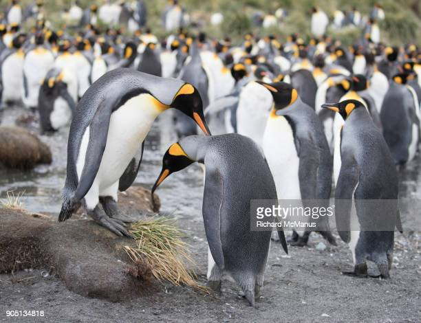 King Penguins courting at Gold Harbour.