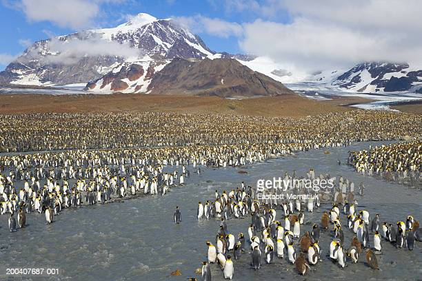 king penguins (aptenodytes patagonicus) crossing river in rookery - rookery stock pictures, royalty-free photos & images