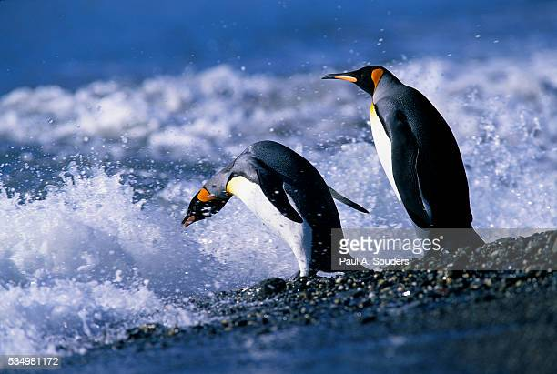 king penguins entering water - st andrews bay stock pictures, royalty-free photos & images