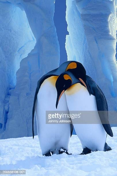 king penguins (aptenodytes patagonicus) exhibiting mating behavior - royal penguin stock pictures, royalty-free photos & images