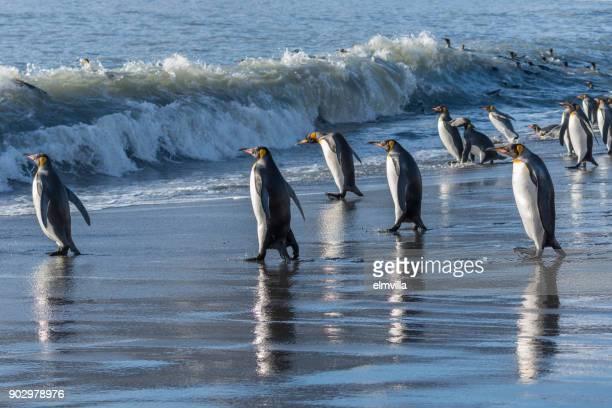 koning penguins gaan vissen bij st andrews bay south georgia - zuid georgia eiland stockfoto's en -beelden