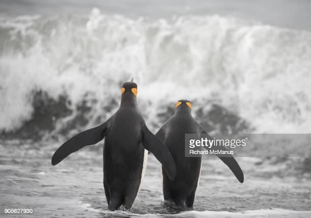 King penguins  going for a swim.