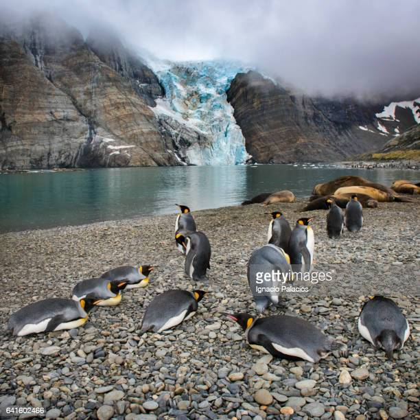 king penguins, gold harbour, south georgia - atlantic islands stock pictures, royalty-free photos & images