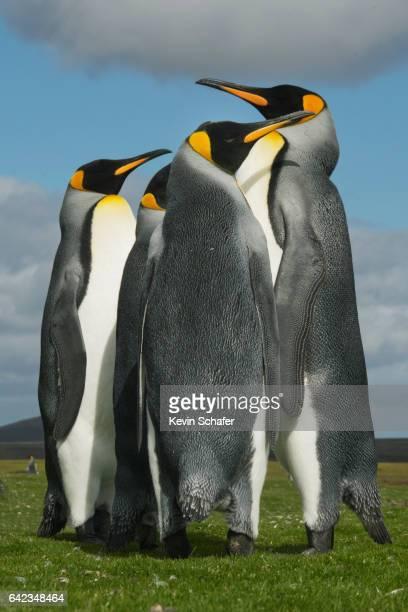 King Penguins huddle, Falkland Islands