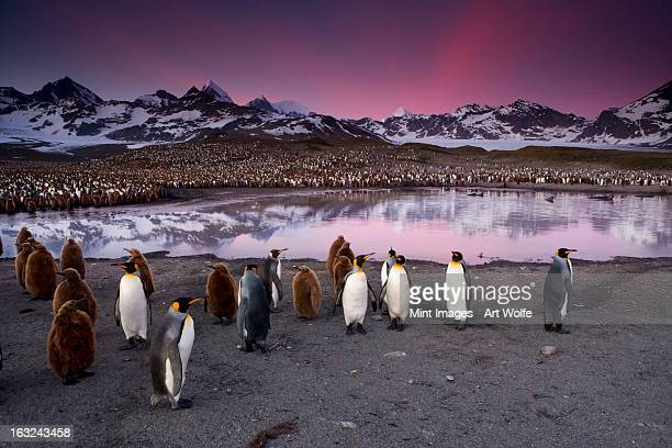 King Penguins in a breeding colony group on South Georgia Island