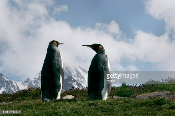 king penguins in south georgia - royal penguin stock pictures, royalty-free photos & images