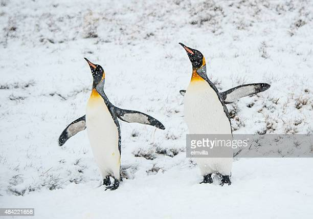 king penguins in the snow in south georgia - royal penguin stock pictures, royalty-free photos & images