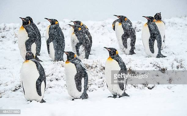 King penguins in the snow in South Georgia