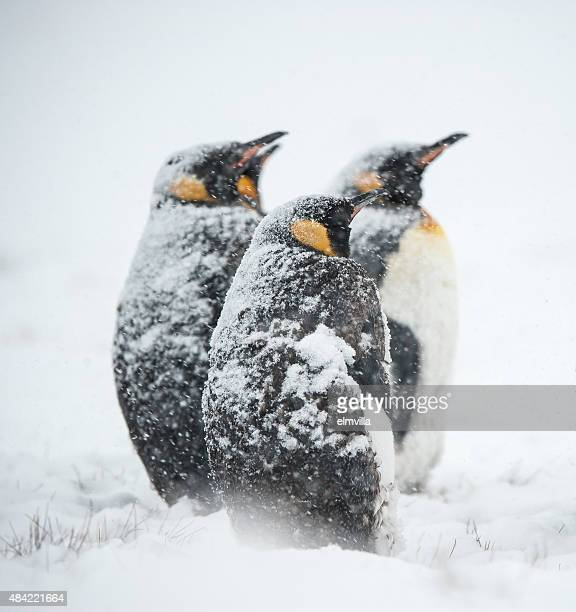 king penguins in the snow in south georgia - pinguïn stockfoto's en -beelden
