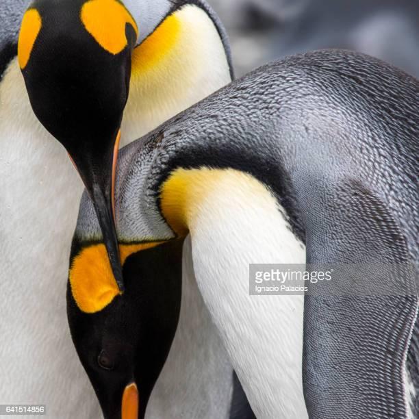 King Penguins, King Haakon Bay, South Georgia