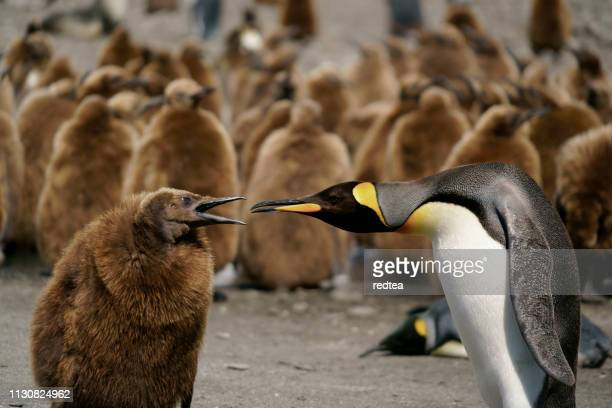 king penguins looking for directions on south georgia island - king penguin stock pictures, royalty-free photos & images
