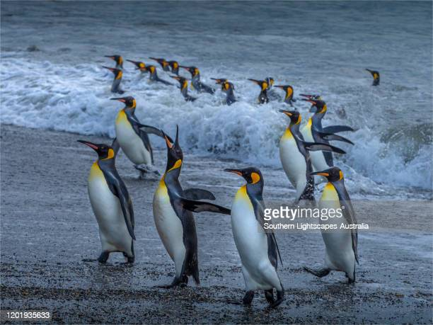 king penguins (aptenodytes patagonicus) nest and congregate at st andrews bay, south georgia island, southern atlantic ocean. - royal penguin stock pictures, royalty-free photos & images