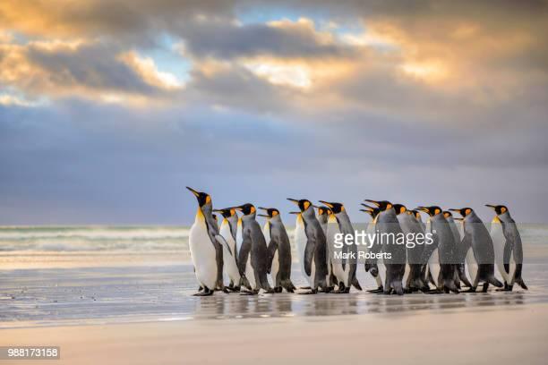 king penguins on a beach. - falklandinseln stock-fotos und bilder