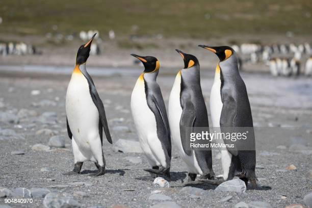 King Penguins on Salisbury Plain.