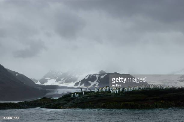 king penguins on salisbury plains - drake passage stock photos and pictures