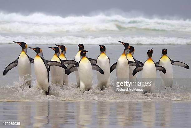 king penguins paddling - falklandinseln stock-fotos und bilder