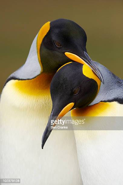 king penguins (aptenodytes patagonicus) - king penguin stock pictures, royalty-free photos & images