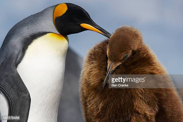 king penguins (aptenodytes patagonicus) - royal penguin stock pictures, royalty-free photos & images
