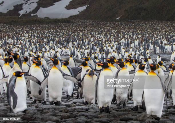 king penguins - grande gruppo di animali foto e immagini stock