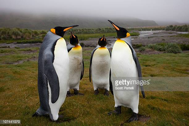 king penguins - snavel stockfoto's en -beelden