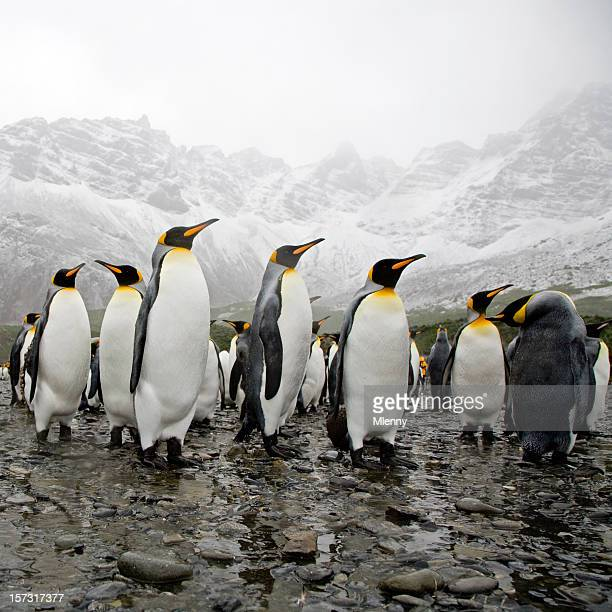 king penguins - royal penguin stock pictures, royalty-free photos & images