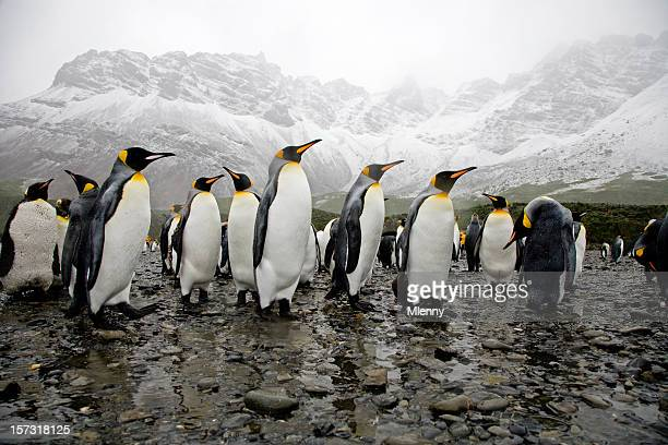 king penguins - koningspinguïn stockfoto's en -beelden