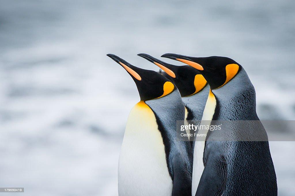 King Penguins : Stock Photo