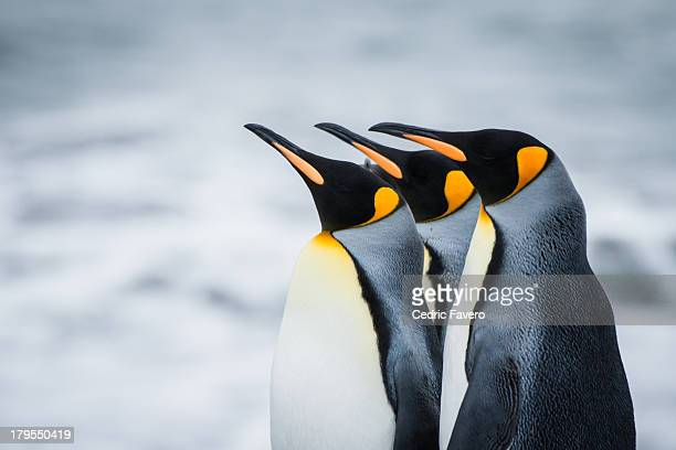 king penguins - pinguïn stockfoto's en -beelden