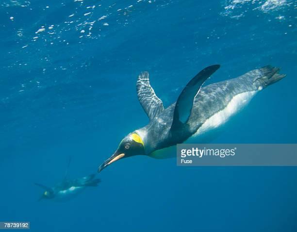 king penguins - königspinguin stock-fotos und bilder