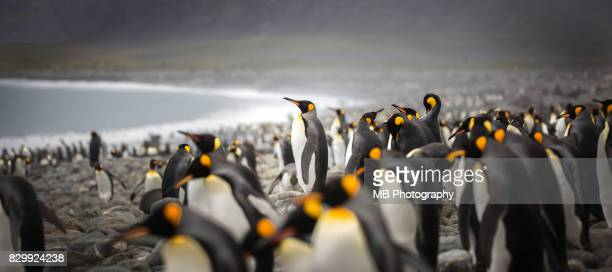 king penguins - king penguin stock pictures, royalty-free photos & images