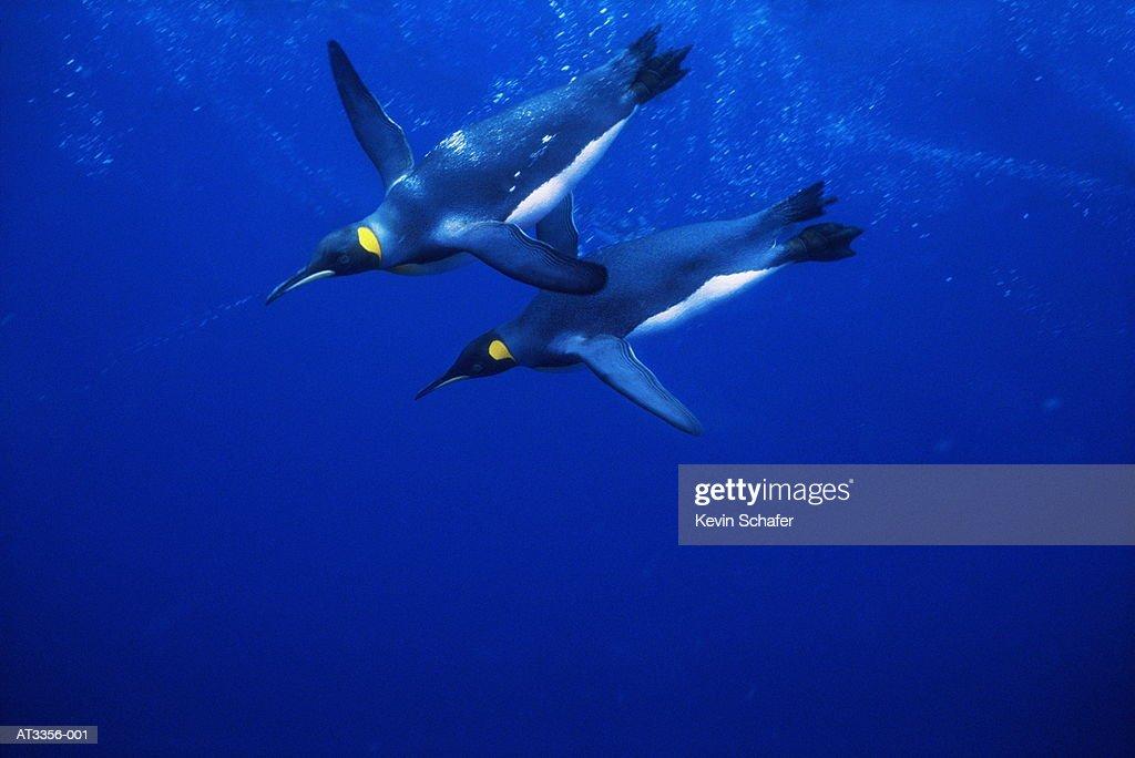 King penguins (Aptenodytes patagonicus) (Digital Enhancement) : Stockfoto