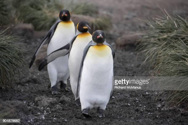 King Penguins returning to the Rookery on Salisbury Plain.