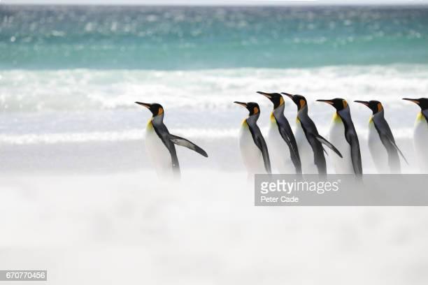 King penguins running into sea