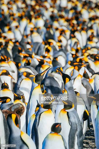king penguins, salisbury plain - koningspinguïn stockfoto's en -beelden