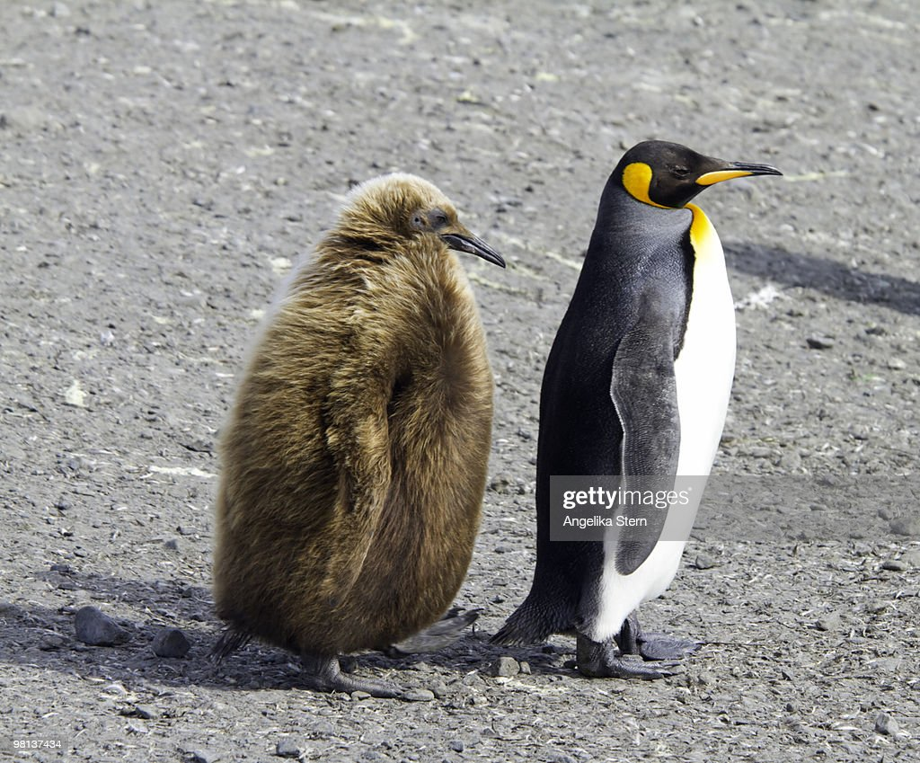 King Penguins, Salisbury Plain, South Georgia : Stock Photo