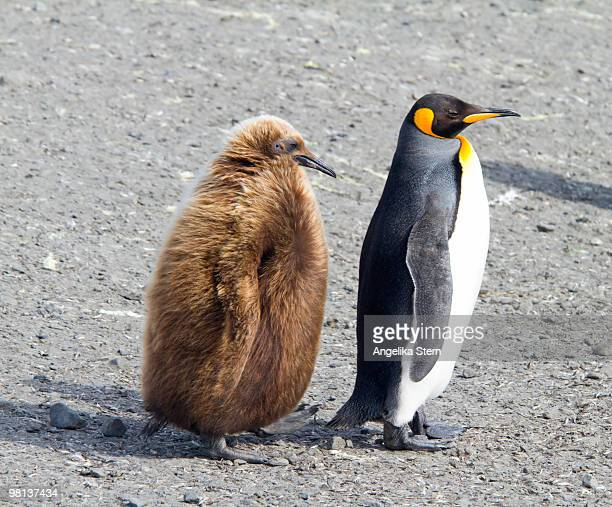 king penguins, salisbury plain, south georgia - rookery stock pictures, royalty-free photos & images