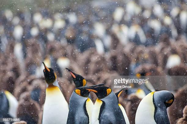 King penguins singing