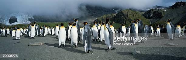 King penguins (Aptenodytes patagonicus) South Georgia Island