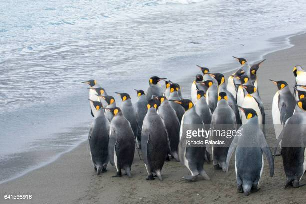 king penguins, st andrew's bay, south georgia - st andrews bay stock pictures, royalty-free photos & images
