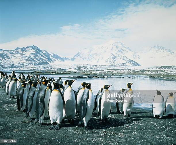 king penguins (aptenodytes patagonicus) standing along shoreline - royal penguin stock pictures, royalty-free photos & images