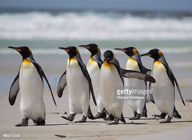 king penguins strolling on beach - koningspinguïn stockfoto's en -beelden