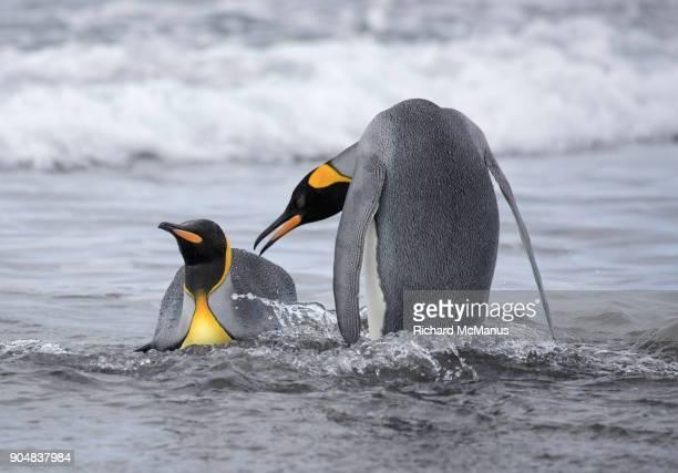 King Penguins swimming near Salisbury Plain.