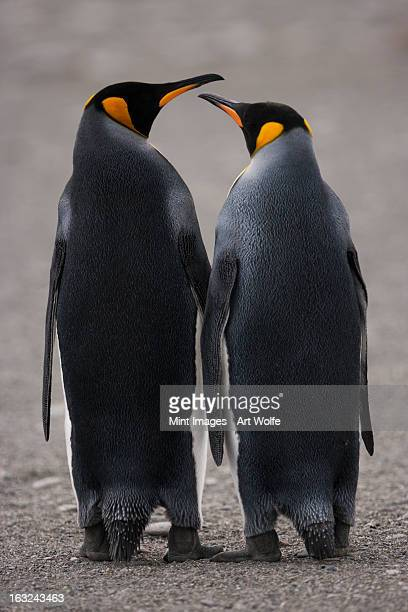 King Penguins, two adult penguins standing side by side, back view, on South Georgia Island