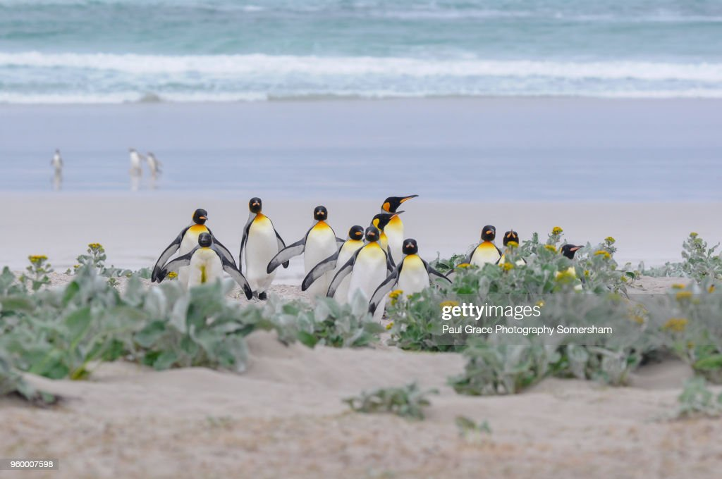 King Penguins, Volunteer Point, Falklands Islands. : Stock-Foto